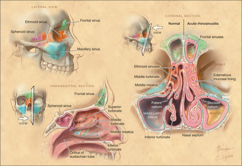 Sinus Anatomy and Structure